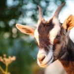 Laktationspause - Ziegen brauchen eine Erholungszeit und geben nicht ununterbrochen Milch