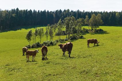 Milchkühe auf der Weide