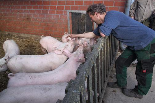 Schweine auf dem Hof Stefan Schumacher
