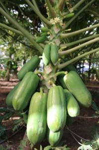 sm_4_papaya