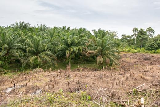 Palmölanbau statt Regenwald - die Abholzung natürlicher Flächen nimmt rasant zu. Foto: © ThKatz / fotolia.de