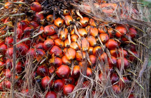 Früchte der Ölpalme