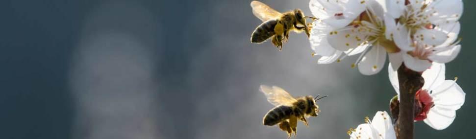 Zwei Bienen fliegen auf eine helle Blüte zu