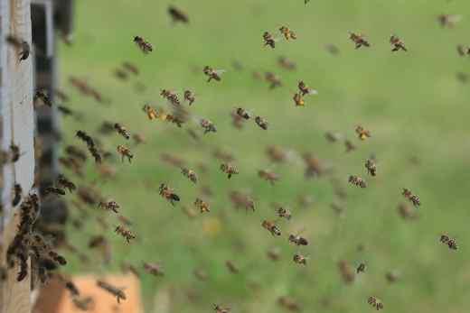 Bienenvolk fliegt in der Nähe des Bienenstocks
