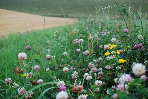 Feldrand mit Wildblumen