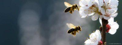 2 Bienen fliegen parallel zu weißen Blüten an einem Zweig