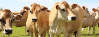 Jersey-Kühe auf der Weide in Berwiller (Vogesen)